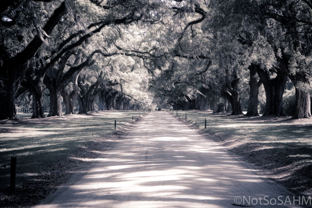Live Oaks of Boone Hall - black and white