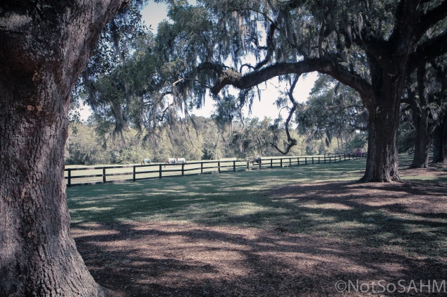 Polo Ponies of Boone Hall Plantation