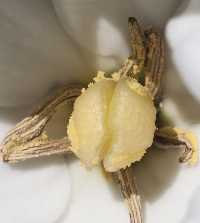 pistil and stamen of a 6-petal Gardenia