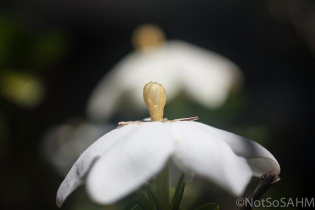 two gardenia flowers