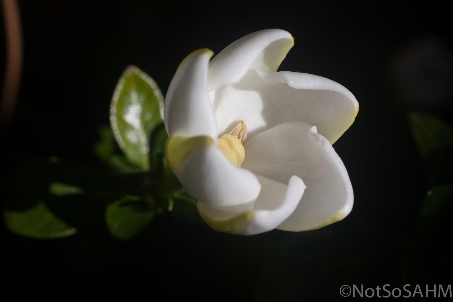 The petals of a gardenia unfurling