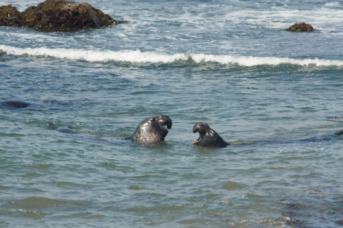 male elephant seals fighting
