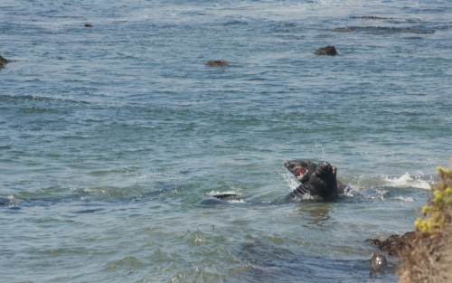 Elephant seals fighting 2