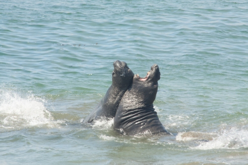 Elephant seals fighting 3
