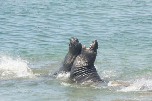 Elephant seals fighting 3
