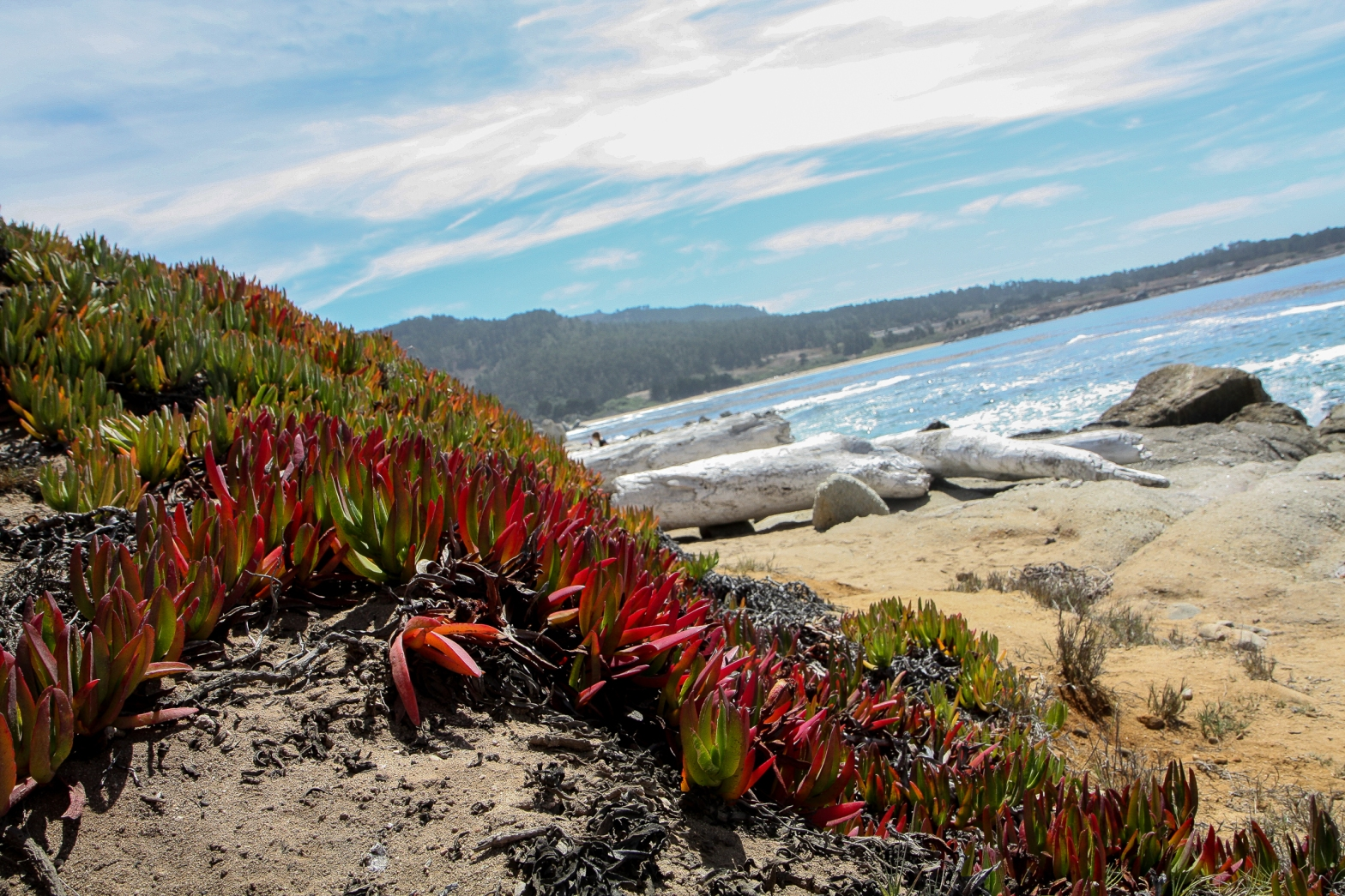 ice plant grows on the hills facing the ocean