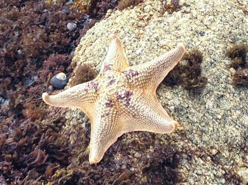 yellowish star fish