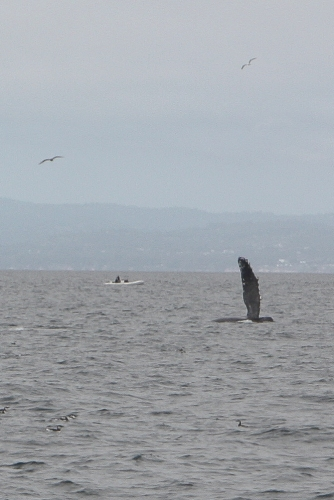 Humpback whale waving pectoral fin in Monterey Bay  Not So SAHM