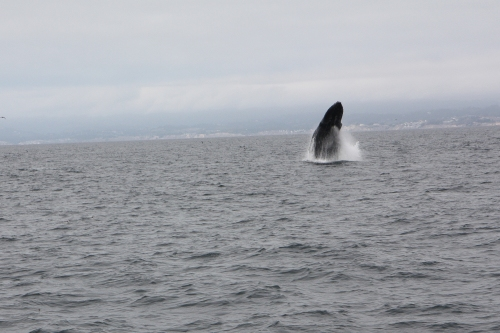 Humpback whale breaching  in Monterey Bay sequence 1 of 6  Not So SAHM