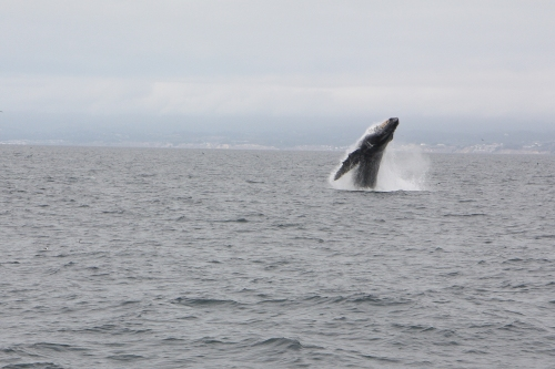 Humpback whale breaching  in Monterey Bay sequence 2 of 6  Not So SAHM