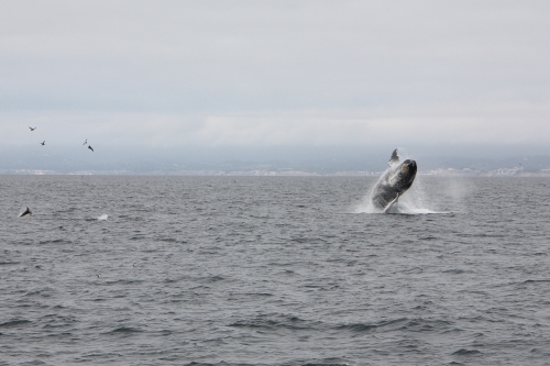 Humpback whale breaching  in Monterey Bay sequence 3 of 6  Not So SAHM