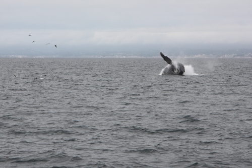 Humpback whale breaching  in Monterey Bay sequence 4 of 6  Not So SAHM