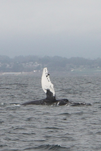 Humpback whale slapping pectoral fin in Monterey Bay  Not So SAHM