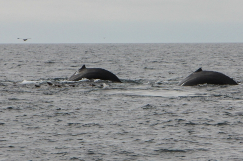 Two humpbacks diving together in Monterey Bay  Not So SAHM