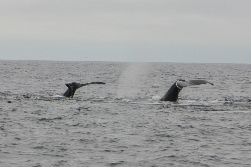Flukes of two humpback whales in Monterey Bay  Not So SAHM