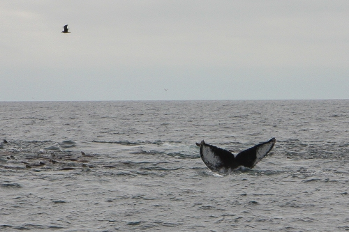 Humpback whale fluke in Monterey Bay  Not So SAHM