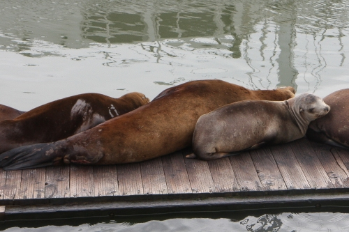Sea lions resting on the dock at Moss Landing in Monterey Bay  Not So SAHM