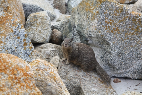 Pudgy squirrel at Seal Point along 17 Mile Drive in Pebble Beach  Not So SAHM