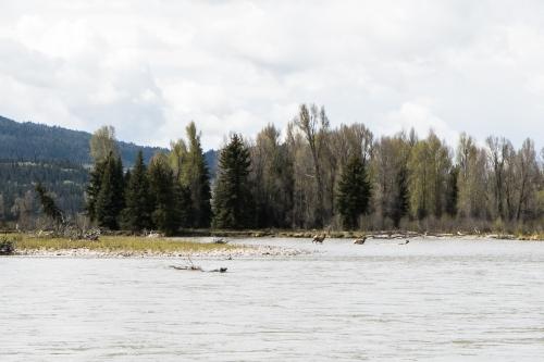 Elk Crossing the Snake River in the Grand Tetons Not So SAHM