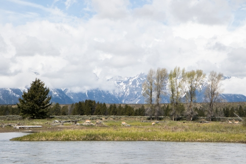 Pronghorn antelope graze along the Snake River in the Grand Tetons Not So SAHM
