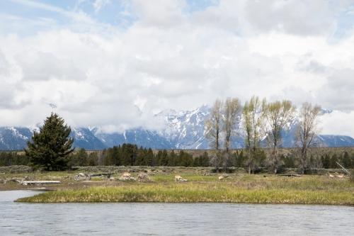 Pronghorn antelope graze along the Snake River in the Grand Tetons Not So SAHM
