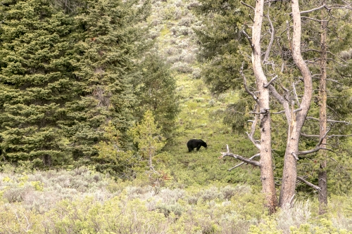 Black Bear in the Grand Tetons Wyoming Not So SAHM
