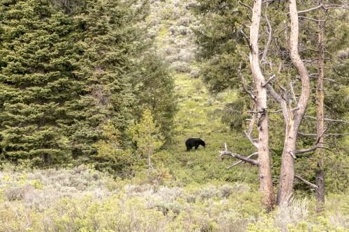 Black Bear in the Grand Tetons Wyoming Not So SAHM