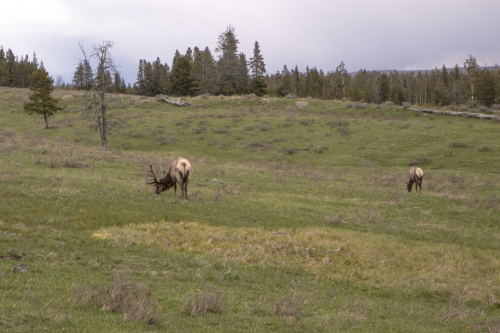 Elk in Yellowstone Wyoming Not So SAHM