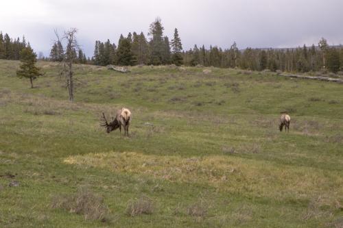 Elk in Yellowstone Wyoming Not So SAHM