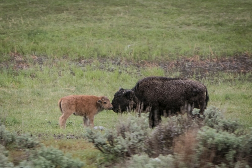 Baby bison kisses mama bison in Yellowstone National Park Not So SAHM