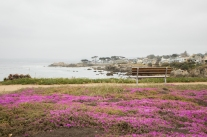 Pink carpet of flowers in Pacific Grove Monterey Not So SAHM