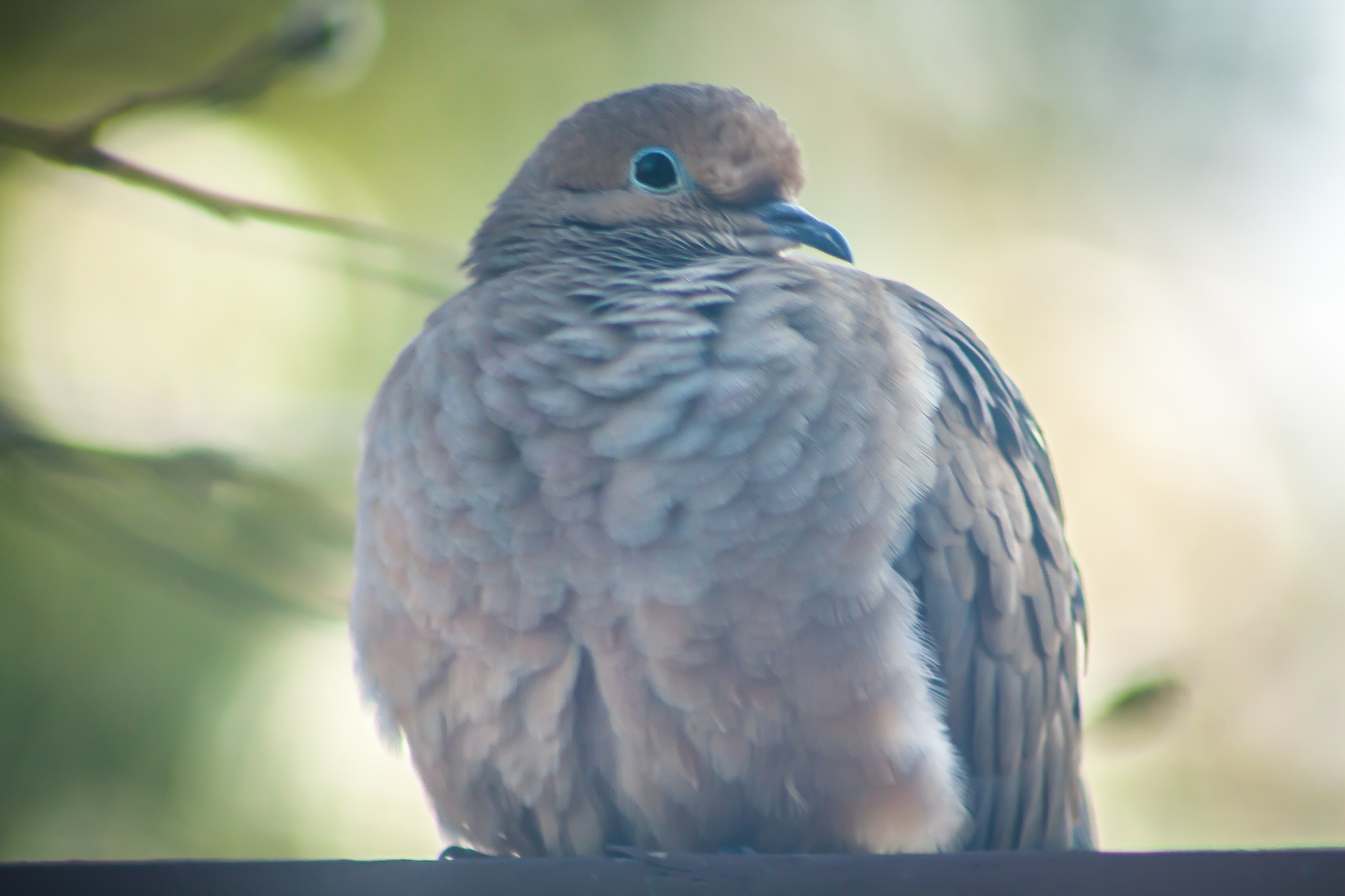 A dove puffs his chest to keep warm in winter NotSoSAHM