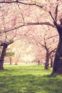 Cherry blossoms bloom all over the Tidal Basin in Washington D.C. NotSoSAHM
