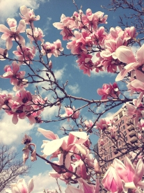 Tulip Magnolia with pretty pink blossoms NotSoSAHM