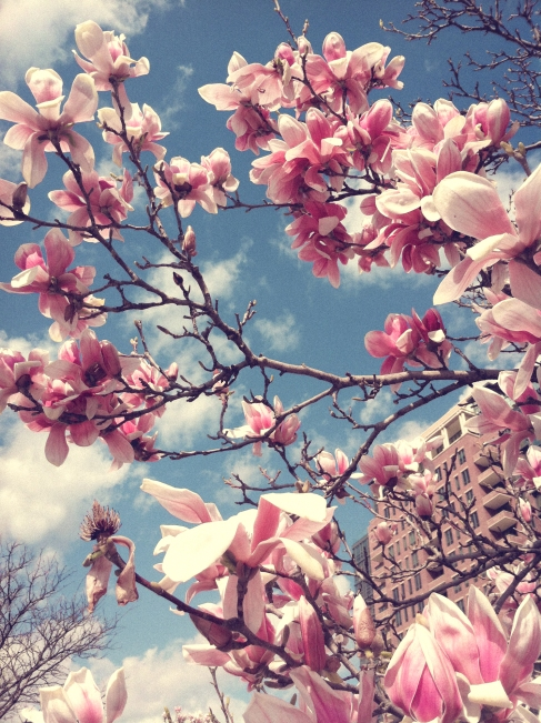 Tulip Magnolia with pretty pink blossoms NotSoSAHM