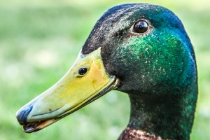 Close up of a male mallard duck NotSoSAHM