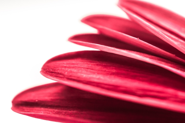 Macro of red petals NotSoSAHM