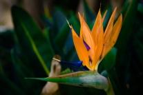 Close up of a Bird of Paradise flower NotSoSAHM