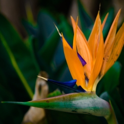 Close up of a Bird of Paradise flower NotSoSAHM
