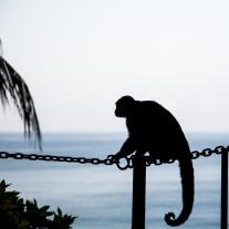A capuchin monkey rests on a chain in the Manuel Antonio area of Costa Rica NotSoSAHM