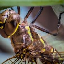A macro close up of a dragonfly head and thorax NotSoSAHM