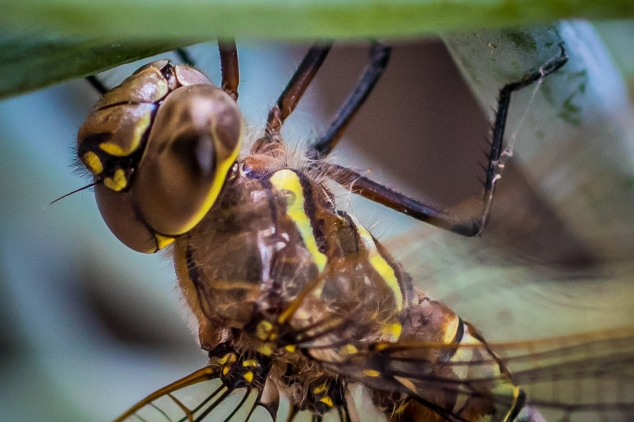 A macro close up of a dragonfly head and thorax NotSoSAHM
