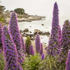 Purple echium grows in abundance in Pacific Grove, CA NotSoSAHM