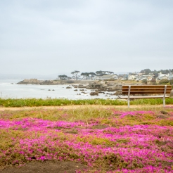 Purplish pink flowers blanket the ground in Pacific Grove, CA in the springtime NotSoSAHM