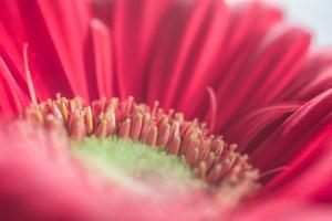 macro of a gerbera daisy NotSoSAHM