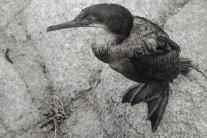 A cormorant rests on a rock on the coast of Pacific Grove, Monterey, CA NotSoSAHM