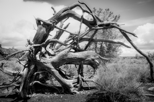 A gnarled tree curls around itself in Craters of the Moon National Park NotSoSAHM