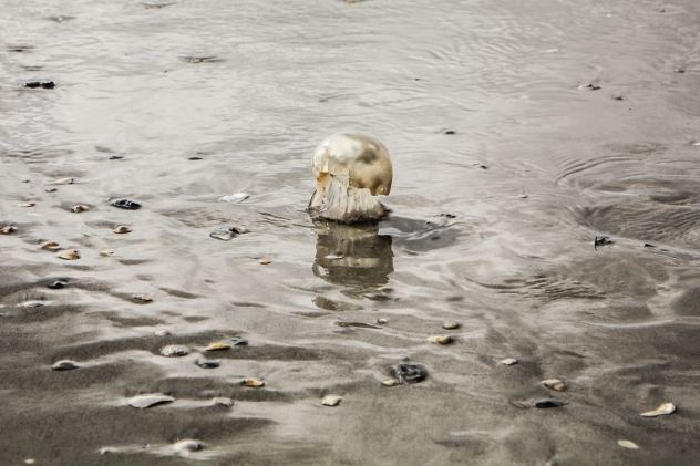 A metallic looking jellyfish stands on the sand near Wilmington, NC NotSoSAHM