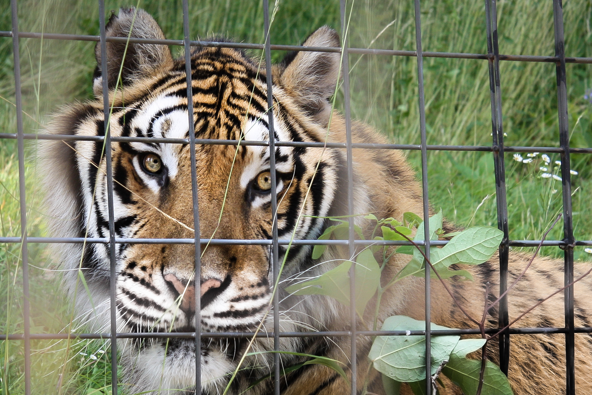 A tiger sits behind two sets of fences to keep itself and the human visitors safe. Not So SAHM