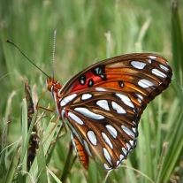 A butterfly rests on a blade of grass while its proboscis probes for nourishment Not So SAHM